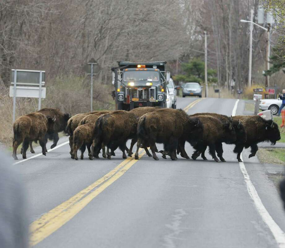 A herd of buffalo cross a road, Friday, April 24, 2015, in Bethlehem, N.Y. About 15 of the animals got loose Thursday from a farm in the Rensselaer County town of Schodack, on the river's east bank a few miles southeast of Albany. Photo: (AP Photo/Mike Groll) / AP