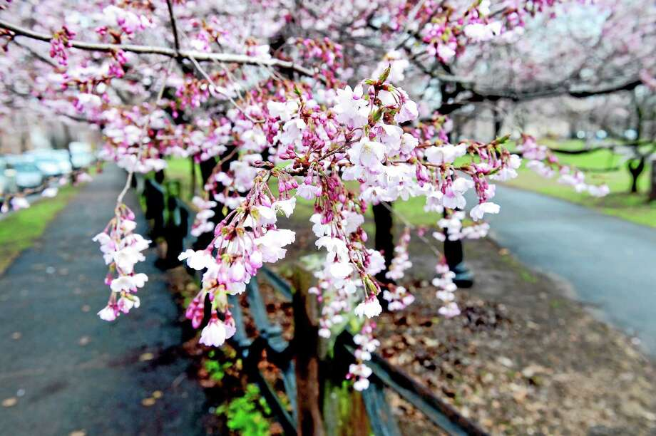 Cherry blossoms were just opening earlier this week in Wooster Square at the corner of Chapel and Academy streets. Photo: Arnold Gold - New Haven Register