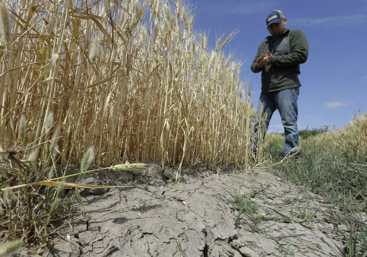 In this photo taken Monday, May 18, 2015, Gino Celli inspects wheat nearing harvest on his farm near Stockton, Calif. Celli, who farms 1,500 acres of land and manages another 7,000 acres, has senior water rights and draws his irrigation water from the Sacramento-San Joaquin River Delta. Farmers in the Sacramento-San Joaquin River Delta who have California's oldest water rights are proposing to voluntarily cut their use by 25 percent to avoid the possibility of even harsher restrictions by the state later this summer as the record drought continues.(AP Photo/Rich Pedroncelli)