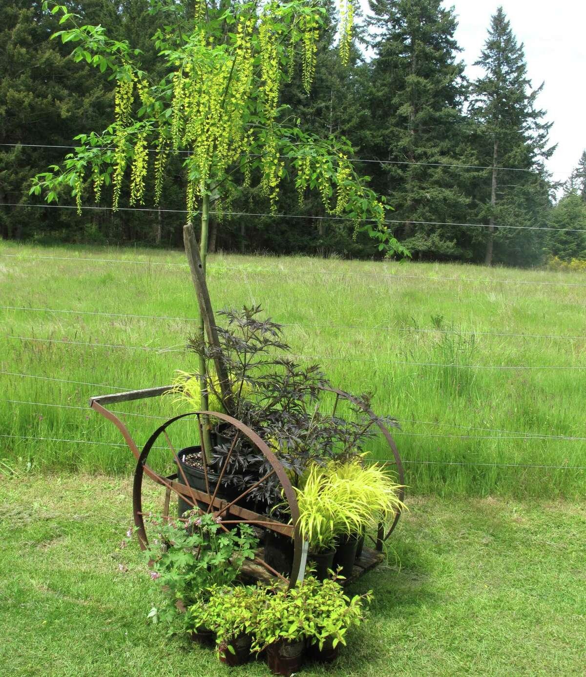 Wheeled devices, like this old cart at Cultus Bay Nursery and Garden near Clinton, Wash., serve as attractive plant beds that can be moved across the country or simply pushed into a sunny corner of the patio.