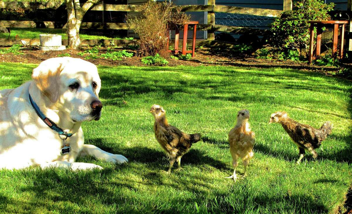 A family dog pulls guard duty for some free-ranging chicks on a yard near Langley, Wash. Dogs and cats are grazers. The lawn organically managed, means it's safe for animals.