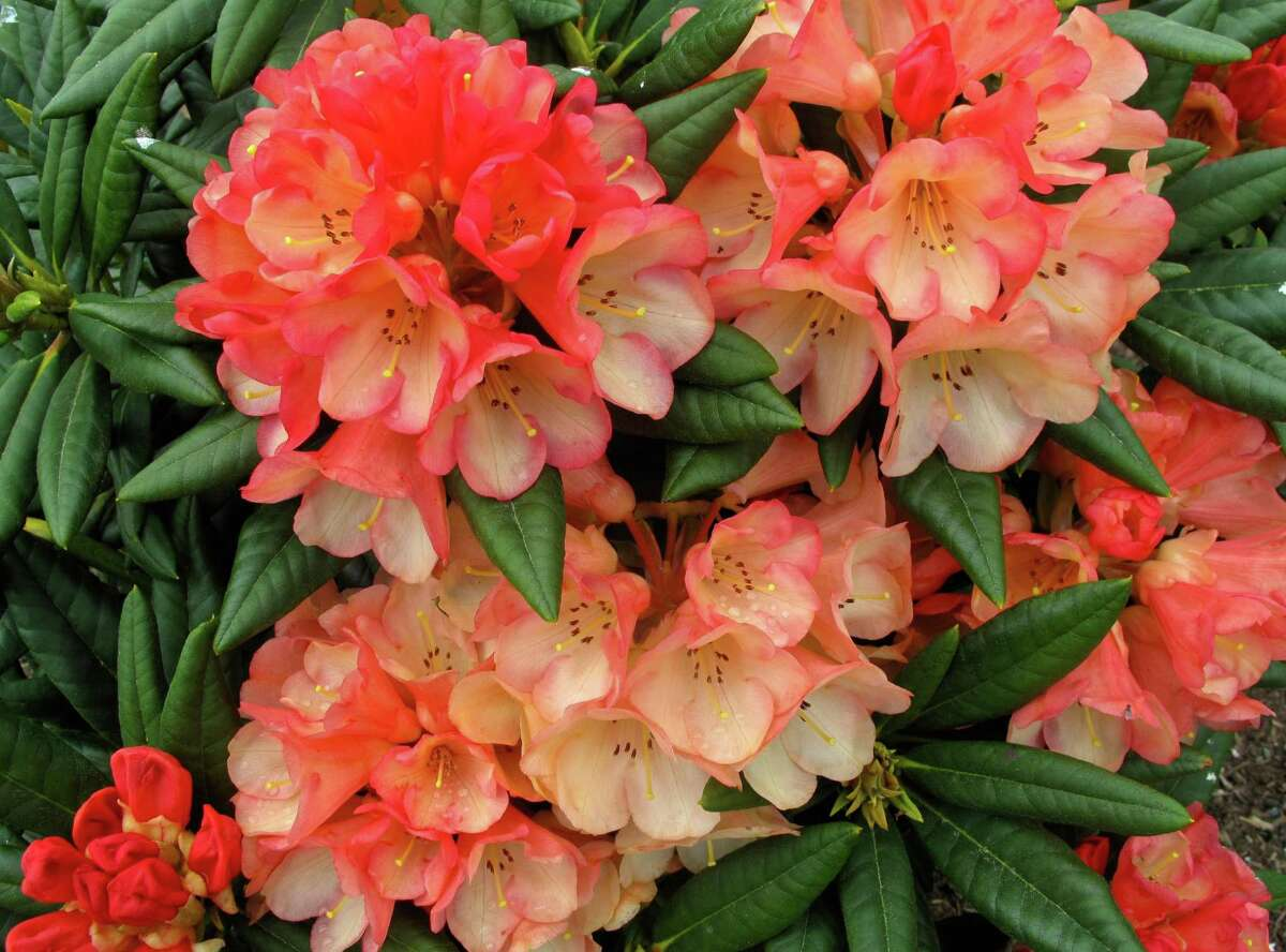Many familiar ornamentals, like these Rhododendrun on a property near Langley, Wash., are among the most toxic known for dogs and cats.