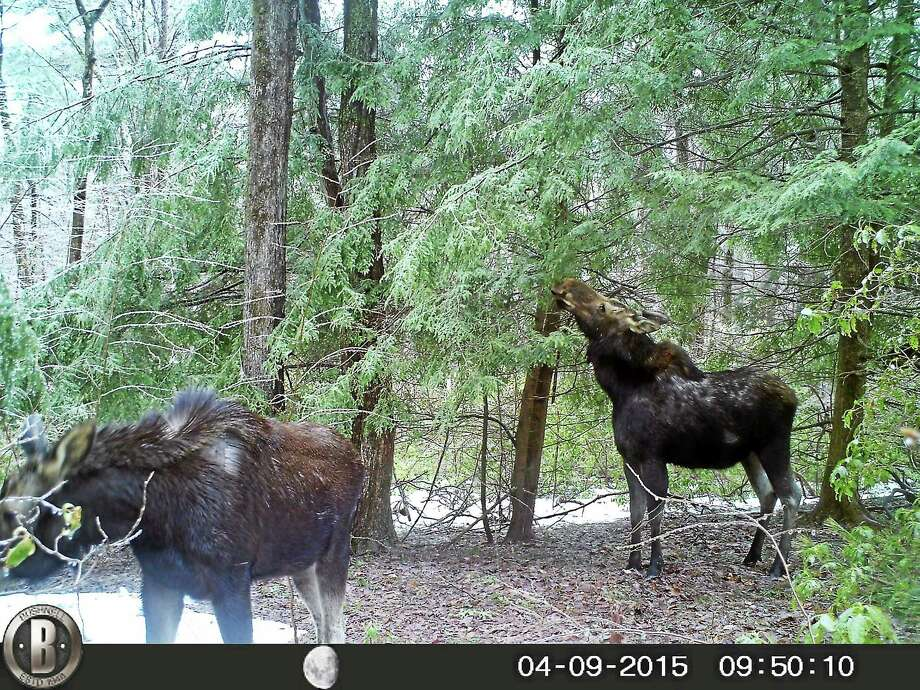 A pair of moose were spotted along Route 272 in Norfolk on Tuesday. Photo: Contributed Photo