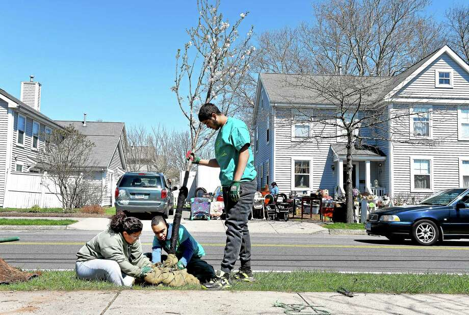"Left to right, <a href=""http://environment.yale.edu/uri/"">Urban Resources Initiative</a> volunteers Kathiana Torres, Lovell Davis and Omar Mercado, Jr., of Common Ground High School position a cherry tree for planting at Scantlebury Park in New Haven recently. This was one of five cherry trees planted by students from Common Ground High School and the Sound School. Photo: Arnold Gold--New Haven Register"