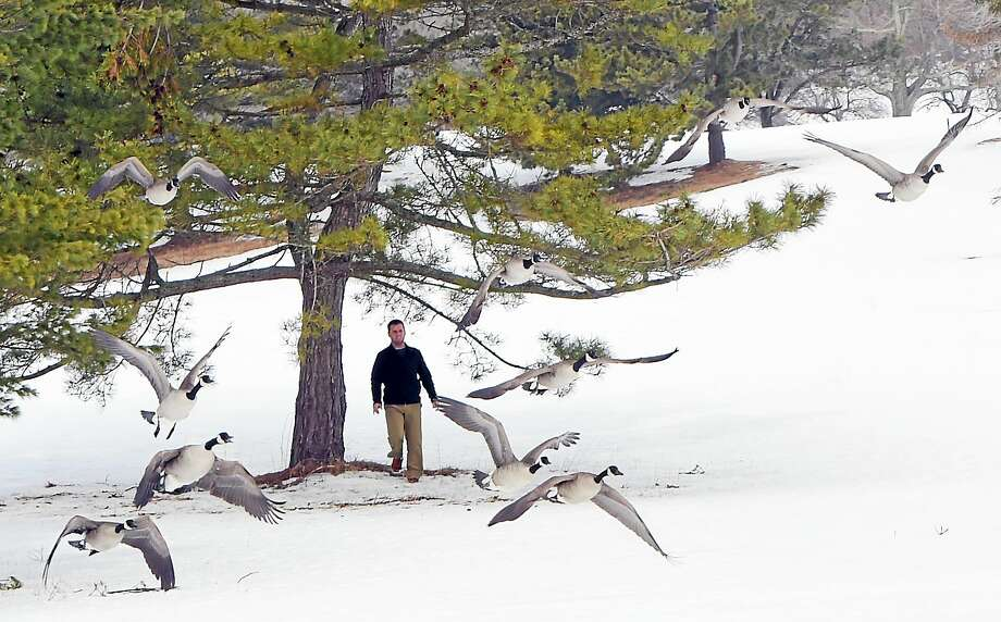 Kenny Wynne, flushes starving Canadian Geese so they can fly to a cache of cracked corn nearby on the Pine Orchard Golf Course in Branford on Tuesday. Wynne, Stan Moore, and  Lucas Orkisz are trying to save geese dying of hunger in their  Branford neighborhood. Photo: Peter Hvizdak — New Haven Register   / ?2015 Peter Hvizdak
