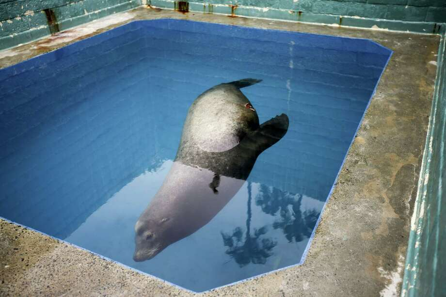 FILE - In this Wednesday, May 27, 2015, file photo, a giant sea lion, nicknamed Bubba, swims in a recovery pool at SeaWorld San Diego's animal rescue center in San Diego. Bubba, who was found impaled by a homemade spear in May, died Wednesday, June 3, after going into cardiac arrest during an exam. (AP Photo/Gregory Bull, File) Photo: AP / AP