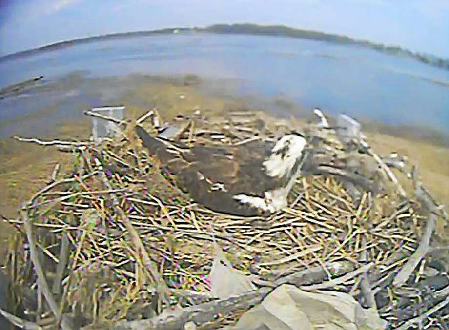 Screen shot from the Connecticut Audubon Society Osprey Cam at its Milford Point Coastal Center Photo: Journal Register Co.