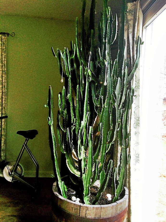 The Kudlinski cactus has become its own little ecosystem in the living room. Photo: Kathleen Kudlinski Photo