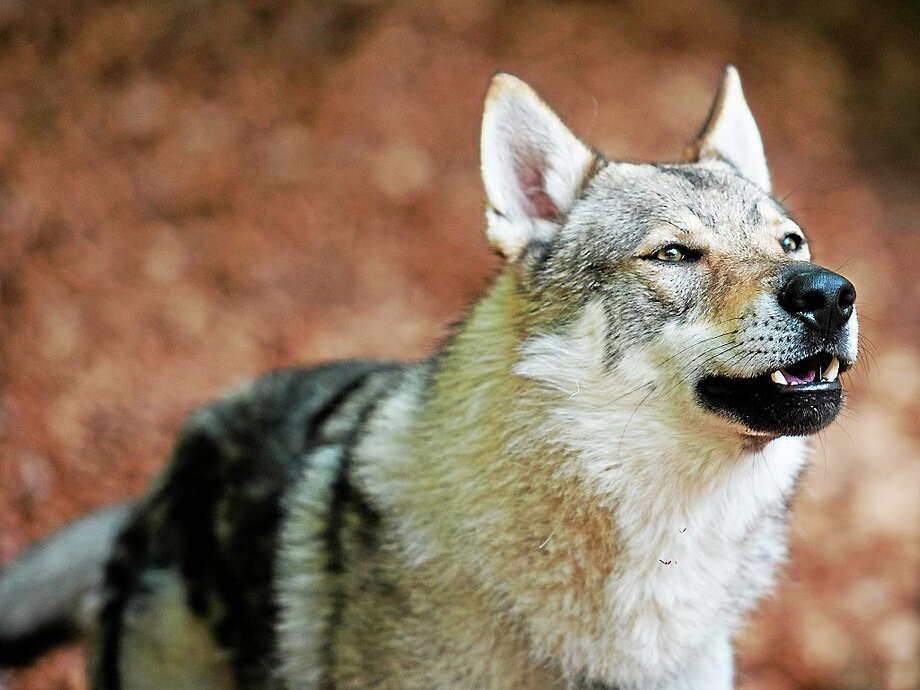 A photo of a wolf-dog, an example of the hybrid animal that may be attacking people and animals in southeastern Connecticut. Photo: Sonja Pauen — Flickr   / Roland van Stokkom