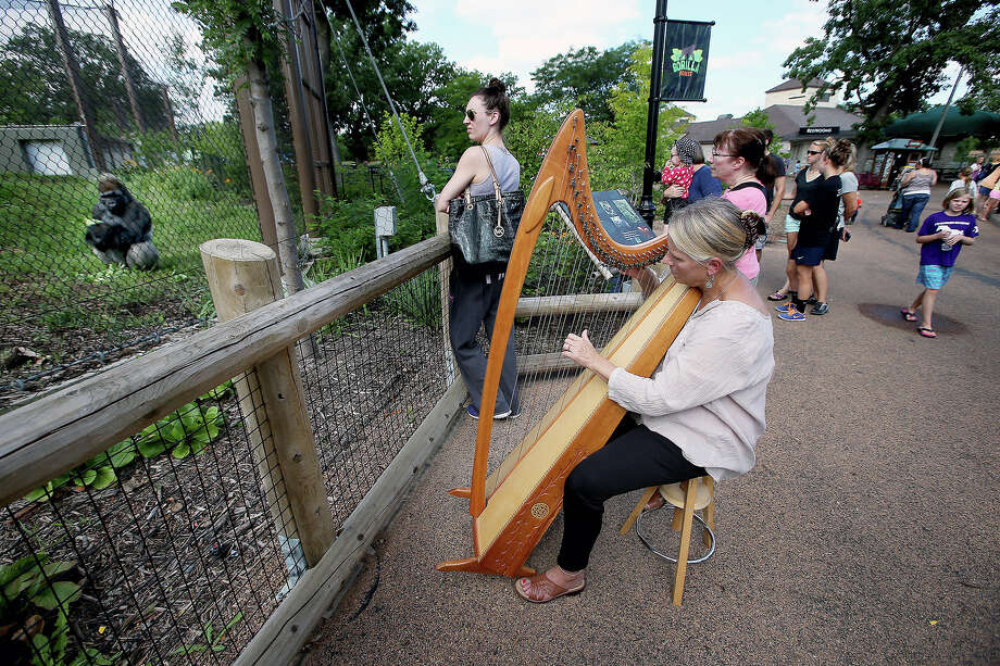 In this Aug. 27, 2014 photo Terri Tacheny plays her harp outside the Primate House at Como Zoo in in St. Paul, Minn. Tacheny, 57, a zoo volunteer, plays once a month for an appreciative audience that ambles down to their barrier as soon as Tacheny begins setting up her harp. Sheís been doing it for nearly a decade. (AP Photo/The Star Tribune, Elizabeth Flores) Photo: AP / 20035985A