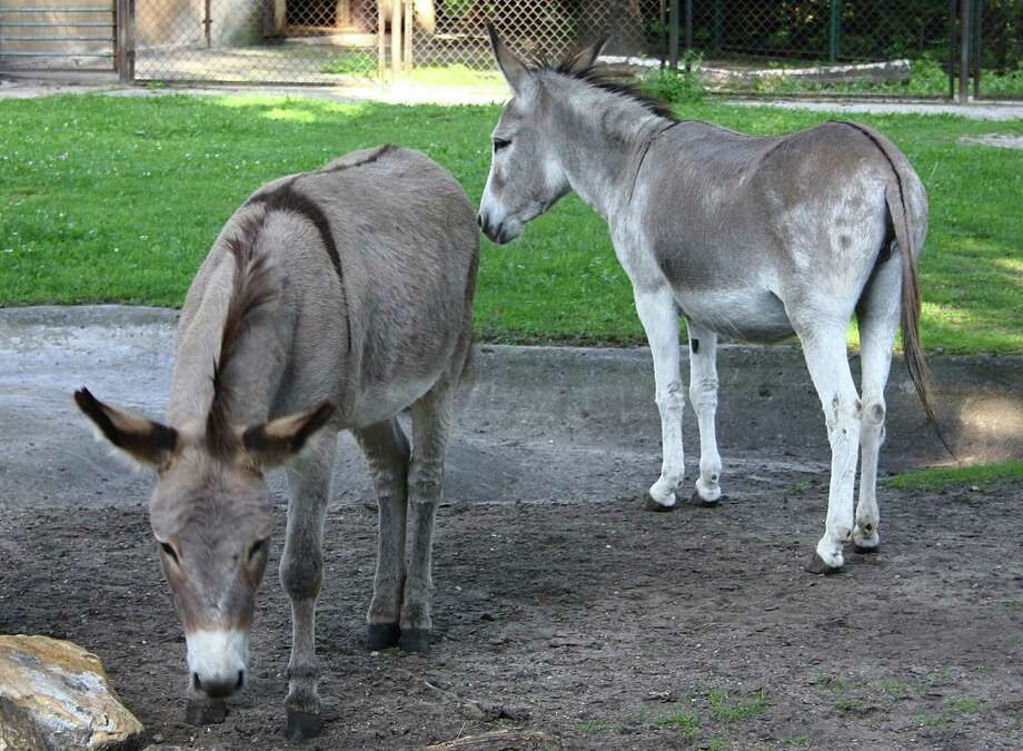 FILE - In this file photo from Aug. 11, 2010, two donkeys, Napoleon, left, and Antosia, stand near each others at a zoo in Poznan, Poland. The two were separated recently because of an outcry over their lovemaking, but have been reunited. The couple, together for 10 years, got into trouble when mothers expressed outrage that children had to witness their mating. (AP Photo/Joanna Piechorowska, File) Photo: AP / AP
