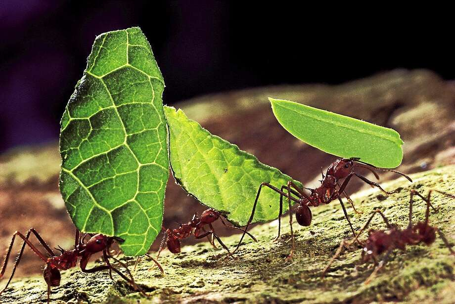In Panama, leaf-cutter ants carry leavs back to the nest. Photo: Contributed Photo   / Copyright © MARK MOFFETT / MINDEN PICTURES