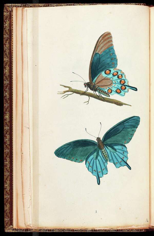 """From """"Blue: Color and Concept,"""" Papilio philenor butterflies from """"Descriptions of the Insects of North America,"""" by entomologist Thomas Say. Photo: Beinecke Rare Book & Manuscript Library Photo"""