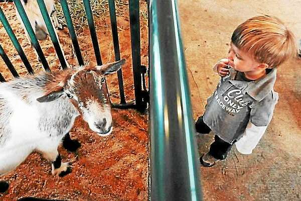 At last year's Orange Country Fair, Matthew Zeoli, age 2 of Woodbridge, watched a Cabin Side Acres goat in the animal tent. File Photo/Mara Lavitt