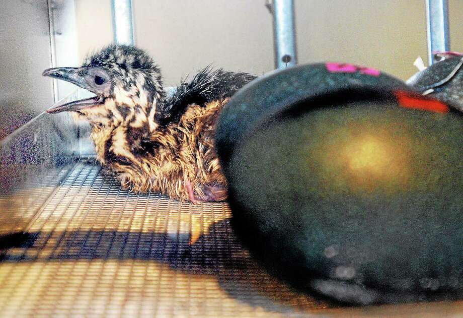 (Arnold Gold-New Haven Register)  A newly hatched emu lays next to unhatched eggs at the Peabody Museum of Natural History in New Haven on 3/13/2014. Photo: Journal Register Co.