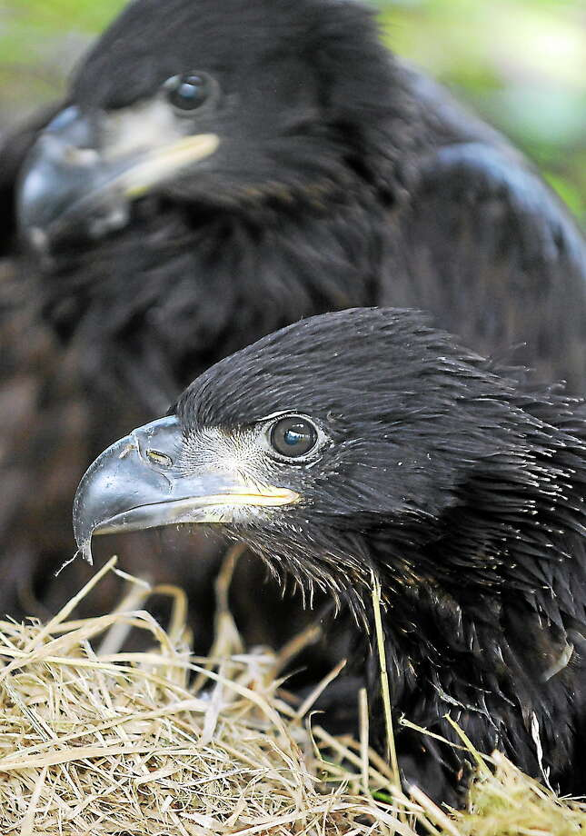 Birds of prey will be just one of the attractions at Nature Fest in Madison Saturday. This baby bald eagle is being cared for at a recovery center in Montana. Photo: Brenda Ahearn - The Daily Inter Lake, AP / The Daily Inter Lake
