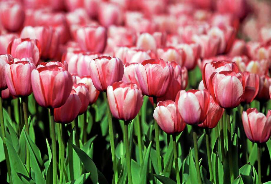 Tulips are seen in Washington Park on Thursday, May 8, 2014, in Albany, N.Y. The city celebrates its annual tulip festival this weekend. (AP Photo/Mike Groll) Photo: AP / A2014