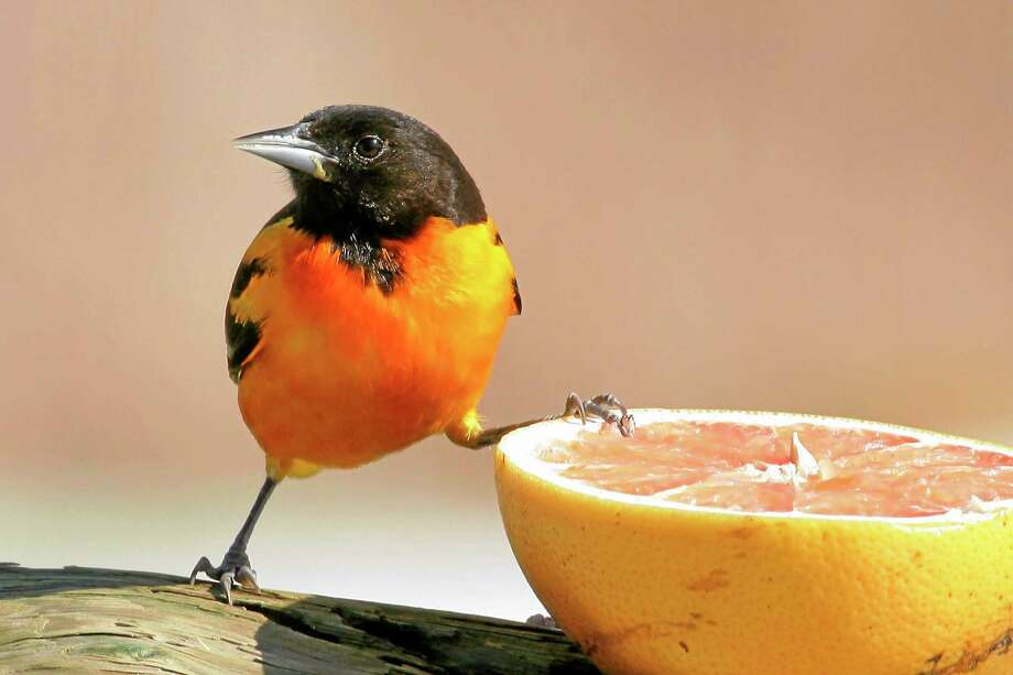 Northern orioles will feed on grapefruit and orange halves, but in recent years, they've shown a decided preference for grape jelly offered at oriole feeders. Photo: Thinkstock   / iStockphoto