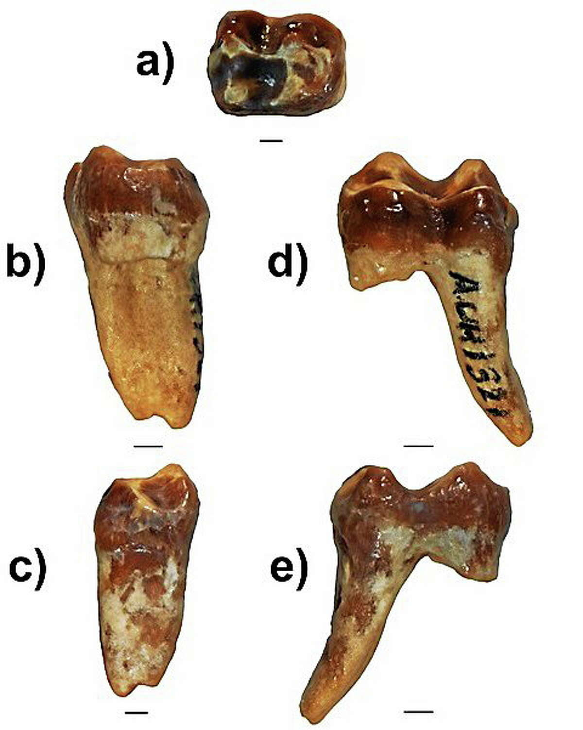 Views of a guenon monkey tooth found in 2009 in Abu Dhabi by Yale professor Andrew Hill and his team of anthropologists. Photo by Eric Lazo-Wasem.