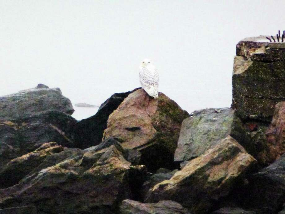 A snowy owl spotted on Long Wharf in New Haven. Photo: Mark Zaretsky — New Haven Register