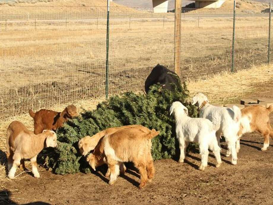 Several goats munch on a pine tree in Reno Tuesday. They are owned by Vince Thomas, founder of Goat Grazers, who along with his 40 goats are teaming up with the Truckee Meadows Fire Protection District to help recycle Christmas trees and keep them out of landfills. Photo: Associated Press   / Reno Gazette-Journal
