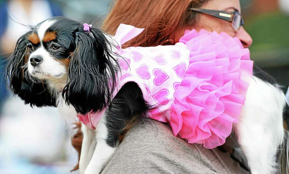 Kim Marcello of Branford holds her Cavalier King Charles Spaniel, Darla, dressed in a tutu at Woofstock on the Branford Green on August 16, 2014. Photo: (Arnold Gold — New Haven Register)