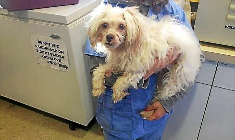 Meriden Police are searching for the owner of this year-old Maltese/poodle mix which was found wandering in distress with an elastic band around her snout. Police say the band embedded into the dog's flesh and prevented it from eating. Photo: (Photo Courtesy Of The Meriden Police Department)