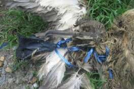 Bird are most at risk for choking on a balloon, or having the balloon clog the stomach, causing starvation.