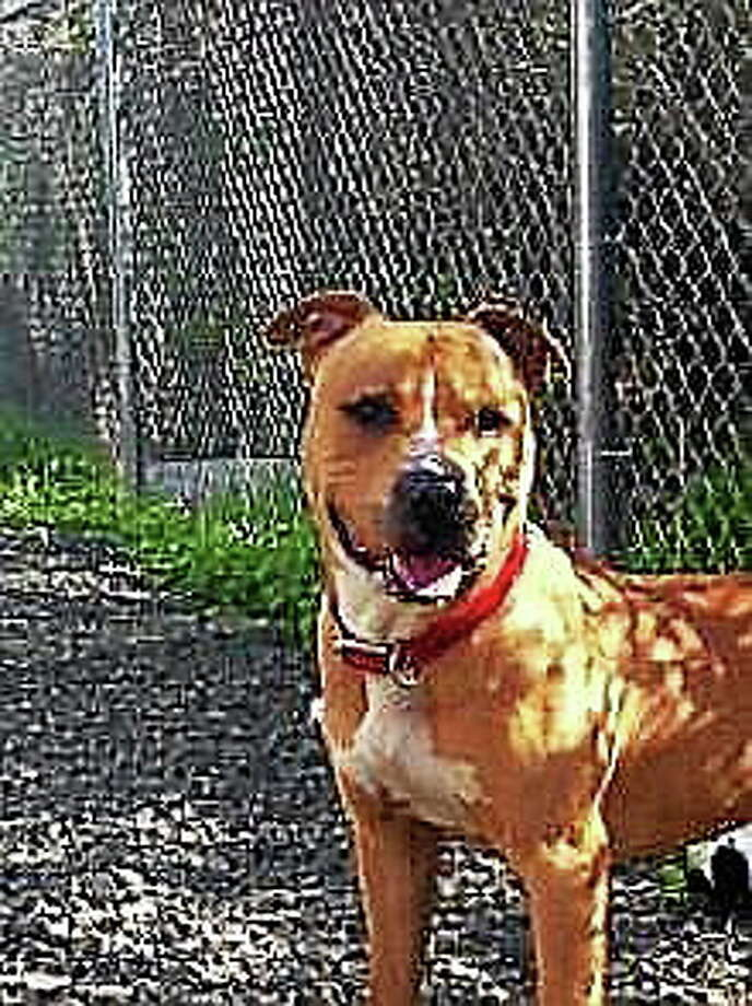 PETFINDER.COM  Booker, the mixed-breed pit bull dog police say attacked a 93-year-old woman. The dog was adopted from the Dan Cosgrove Animal Shelter. Shelter Director Laura Burban said Booker showed no signs of violence prior to adoption. Photo: Journal Register Co.