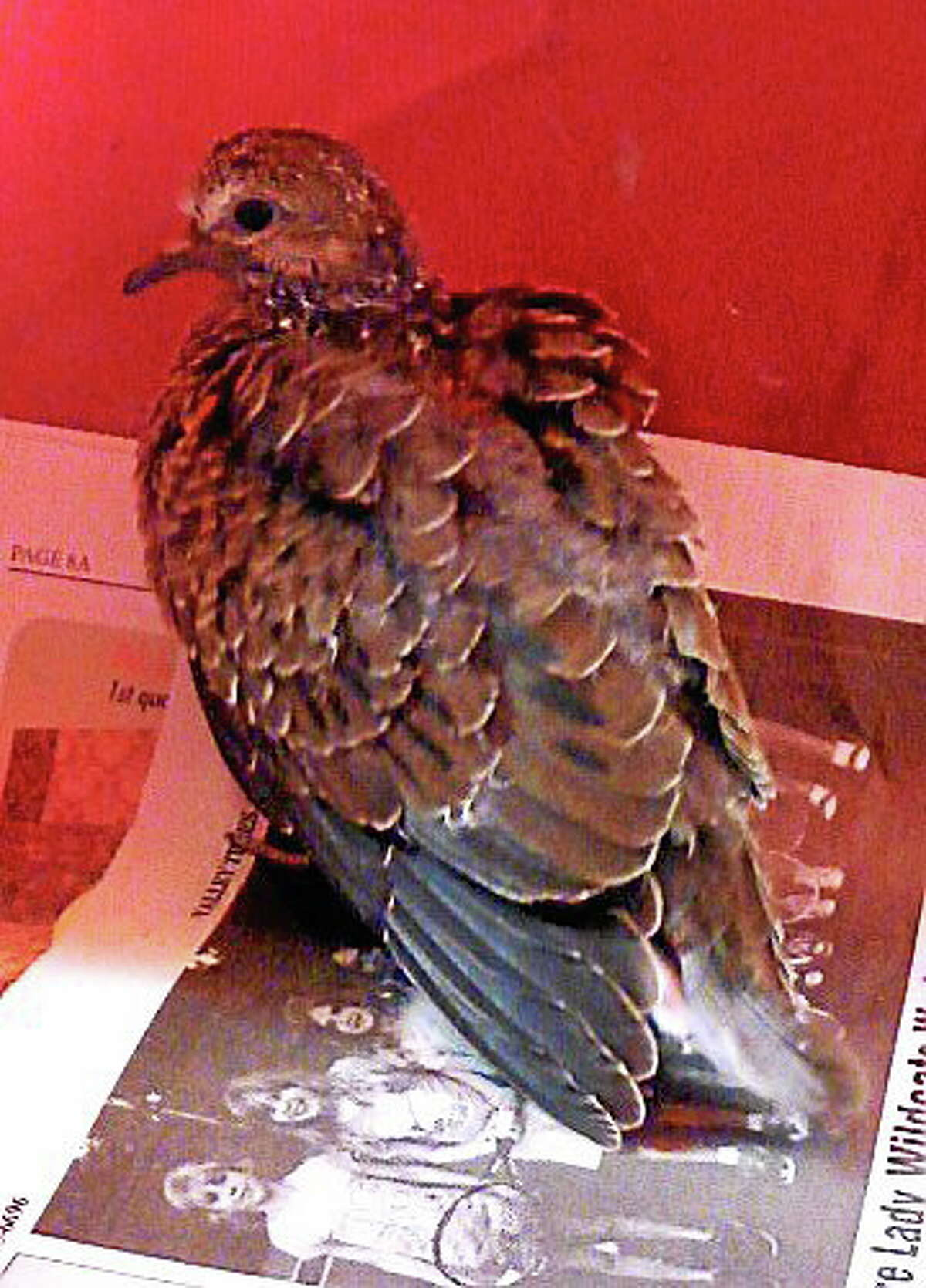 Mourning dove rescuted from Derby parking garage. (Patrica Villers ó New Haven Register)