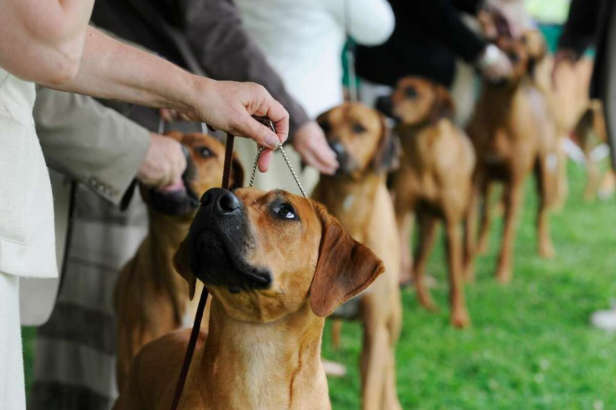 The Rhodesian Ridgebacks take the ring during The Greenwich Kennel Club's All-Breed Dog Show at Taylor Farm in Norwalk, Conn. on Saturday June 12, 2010.