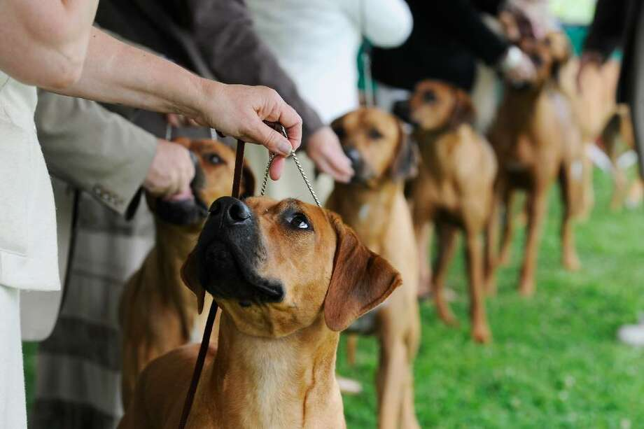 The Rhodesian Ridgebacks take the ring during The Greenwich Kennel Club's All-Breed Dog Show at Taylor Farm in Norwalk, Conn. on Saturday June 12,  2010. Photo: Kathleen O'Rourke, Stamford Advocate / Stamford Advocate