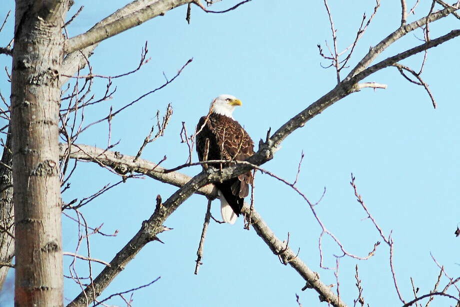 Eagles have been nesting along State Street in Hamden. Photo: Mike Horn