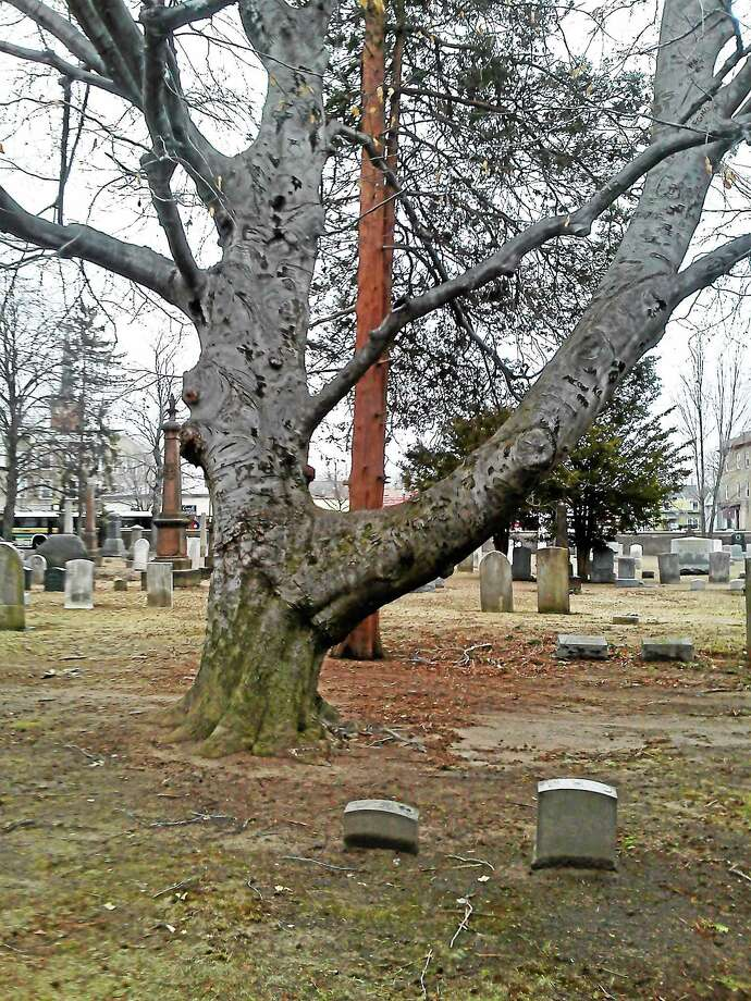 Heroin users allegedly are using drugs behind this tree in the Center Street Cemetery in Wallingford. Photo: SUBMITTED PHOTO