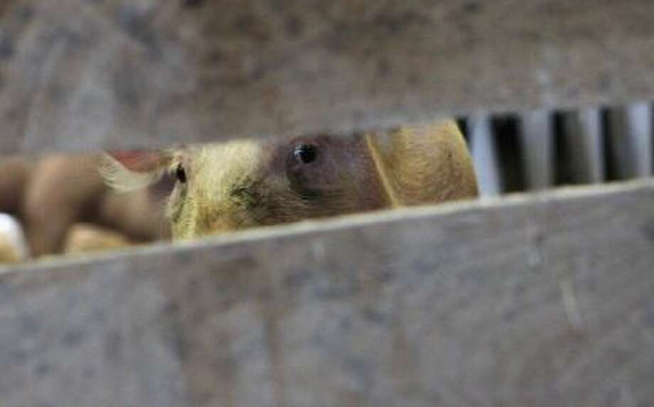 A pig looks out from its pen on January 13, 2011 in Langenhorn, Germany.