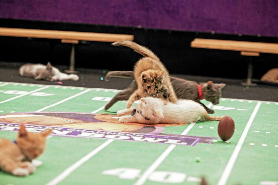 This week Register columnist Chip Malafronte wonders just how it will sound when Yankees play-by-play man John Sterling calls the Kitten Bowl Sunday. Photo: The Associated Press   / Crown Media United States, LLC