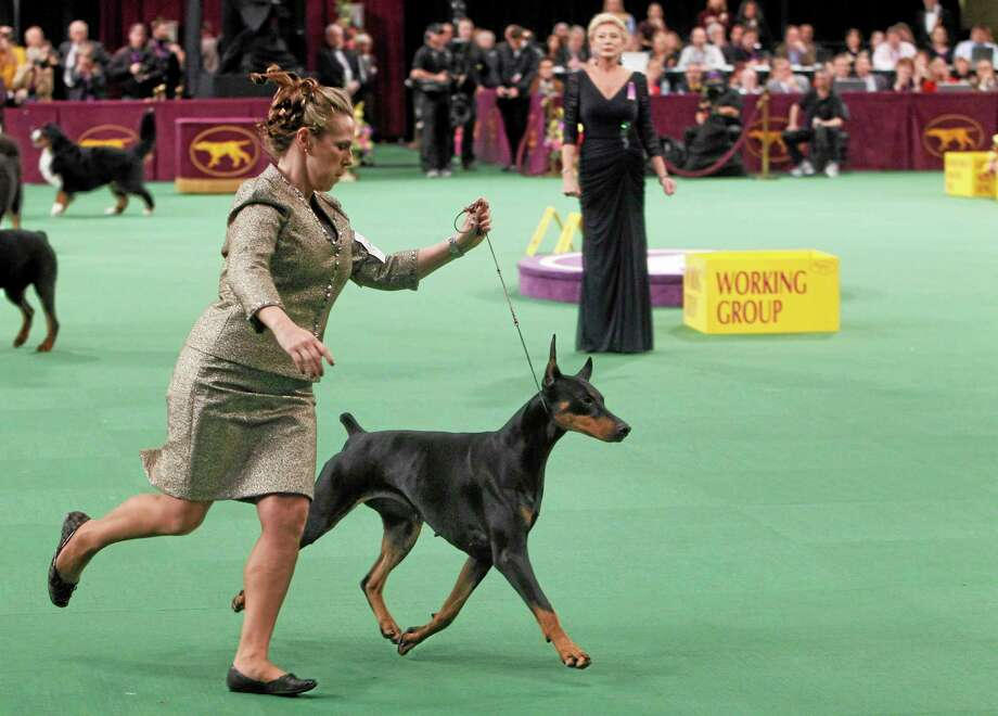 FILE - In this Feb. 14, 2012 file photo, Veni Vidi Vici, a Doberman pinscher, competes in the working group, which she later won, during the 136th annual Westminster Kennel Club dog show in New York. (AP Photo/Jason DeCrow, File) Photo: AP / FR103966 AP