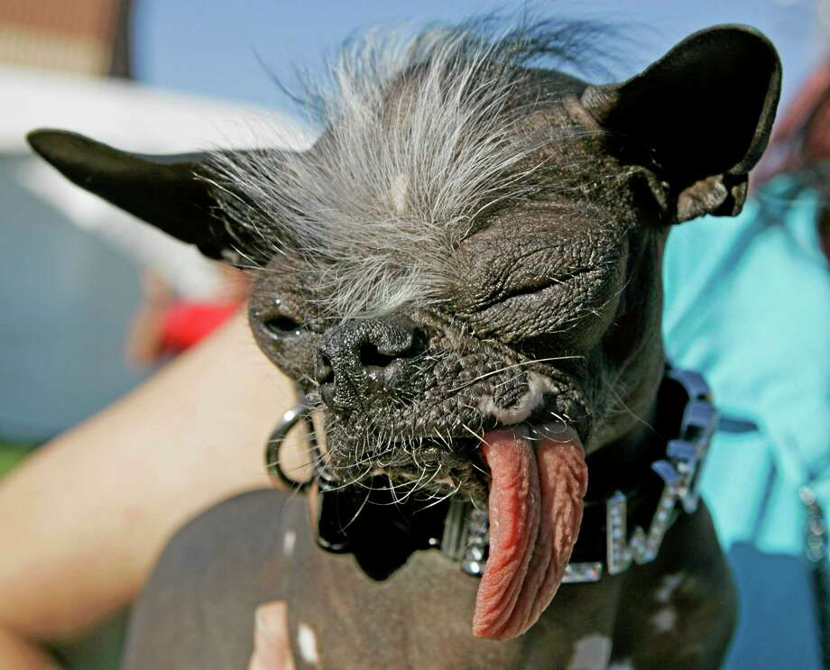 """In a 2007 file photo, the Chinese Crested and Chihuahua mix dog """"Elwood"""" won the title of World's Ugliest Dog at the 2007 World's Ugliest Dog Contest in Petaluma, Calif. Photo: Ben Margot — The Associated Press   / AP"""