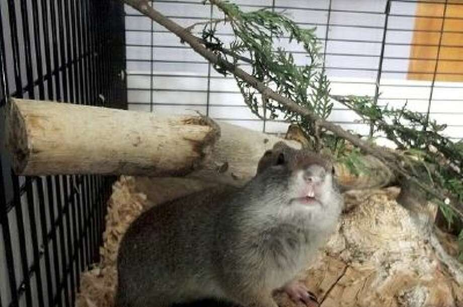 A Uinta ground squirrel is back in Utah after a trucker trapped her and presented her to a family in Madison, Wis.