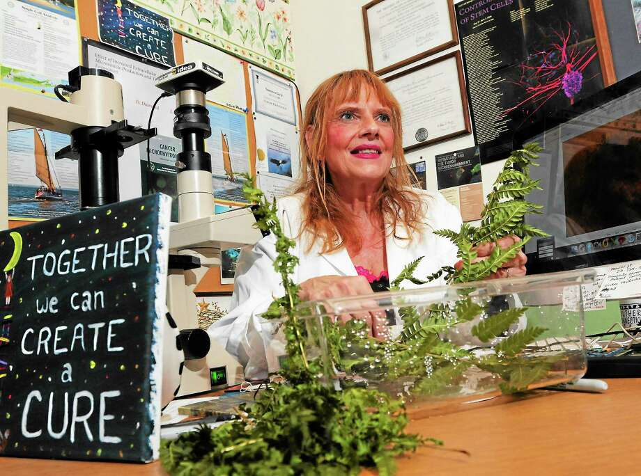 Southern Connecticut State University biology professor Sarah Crawford in her office recently, with Christmas ferns she is studying as a possible component of cancer treatment. Photo: Peter Hvizdak — New Haven Register       / ©Peter Hvizdak /  New Haven Register