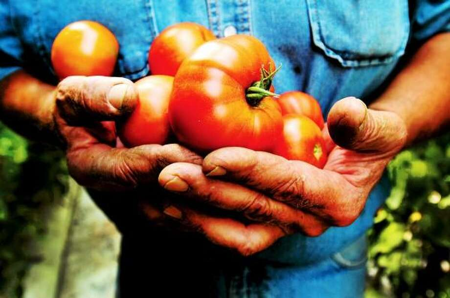 The hard working hands of farmer Jay Medlyn, a fourth-generation owner of Medlyn's Farm in Branford, hold his precious tomatoes. Medlyn is known for his locally grown organic tomatoes. Tuesday, July 30, 2013. Peter Hvizdak/New Haven Register Photo: New Haven Register / ©Peter Hvizdak /  New Haven Register