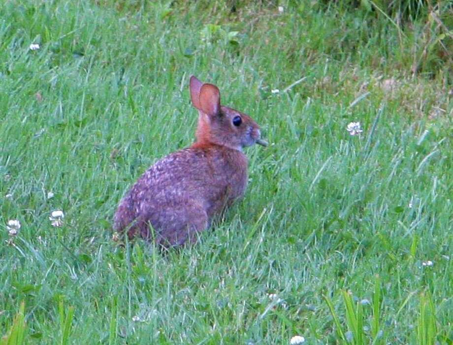 A New England cottontail