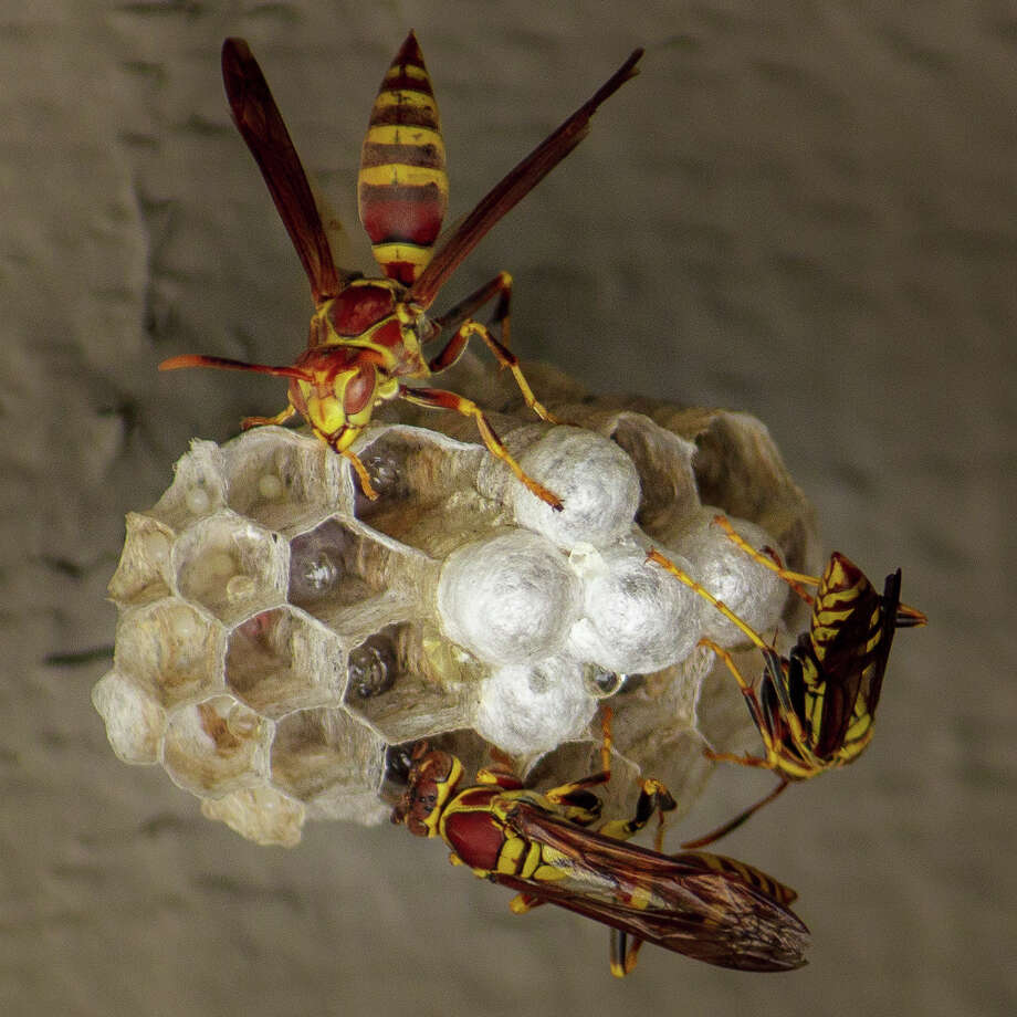Bay Area County Offices Swarmed With Calls To Treat Wasp