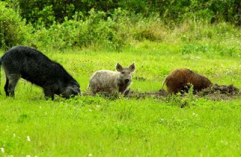 Feral pigs are seen in this undated NASA handout photo. Wild pigs are a growing problem in Virginia, with an estimated population of up to 3,000. Wild pigs have been spotted in 47 U.S. states, with an estimated 5 million in Texas alone.