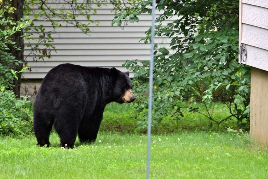A black bear wanders through a back yard in Windsor in 2011. Doug Hardy/CTNewsJunkie file photo