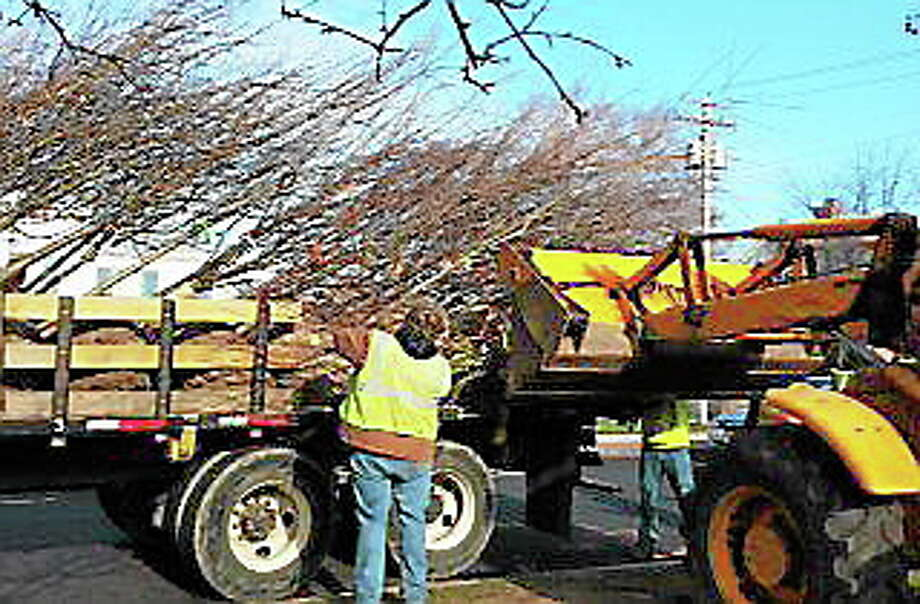 A worker helps handle trees to be planted on the Milford Green. Photo: Courtesy Of Milford Recreation Department