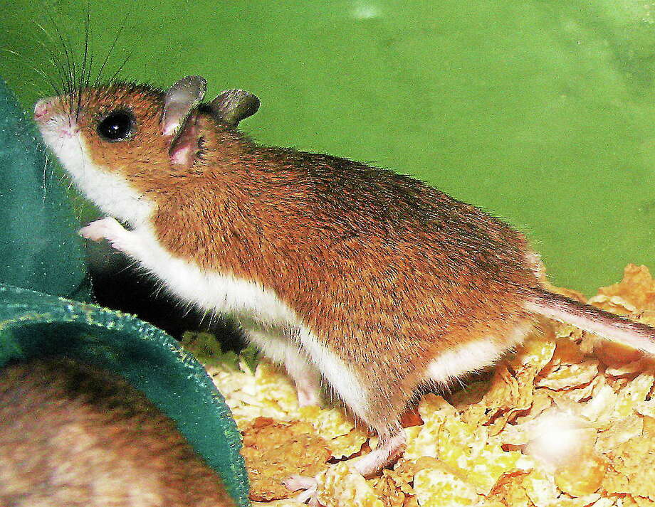 The adorable deer or white-footed mouse, hot-wired to seek shelter, find our homes a perfect winter nesting place. Photo: Wikimedia.org