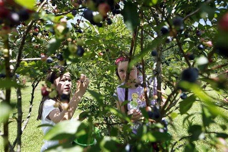 In this Wednesday, July 17, 2013 photo, Meredith James, 7, left, and her sister Grace Katherine James, 9, look for ripe blueberries in the pick-your-own field at Foxbrier Farm, in Chattahoochee Hill Country, Ga. While Georgia is officially known as the Peach State, blueberry production has eclipsed the state's production of peaches. Federal surveys show the value of Georgia's blueberry production surpassed that of peaches in 2005, and the gap continues to grow. (AP Photo/Jaime Henry-White) Photo: AP / AP