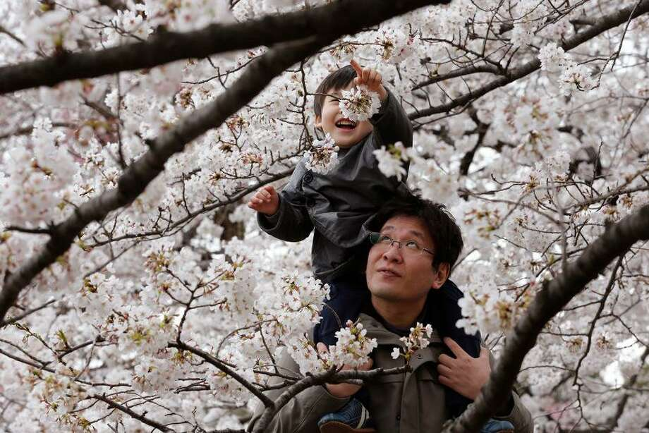A child and father enjoy the blooming cherry blossoms at the Chidorigafuchi Imperial Palace moat in Tokyo, Sunday, March 24, 2013. (AP Photo/Shizuo Kambayashi) Photo: ASSOCIATED PRESS / AP2013