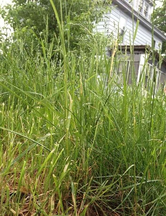 PHOTO BY JOHN HAEGER @ ONEIDAPHOTO ON TWITTER/ONEIDA DAILY DISPATCH High grass at an Oneida home on Friday, May 24 2013 in Oneida